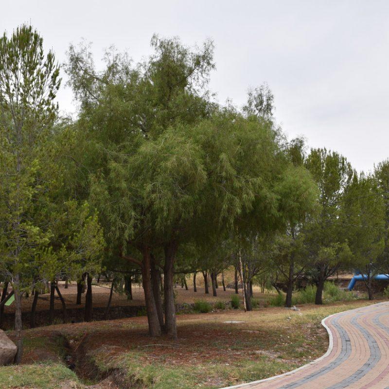 Ahuehuete Taxodium mucronatum (28 amazonas )
