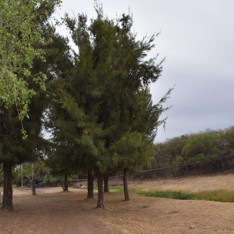 Casuarina Casuarina equisetifolia (23 salón educación)