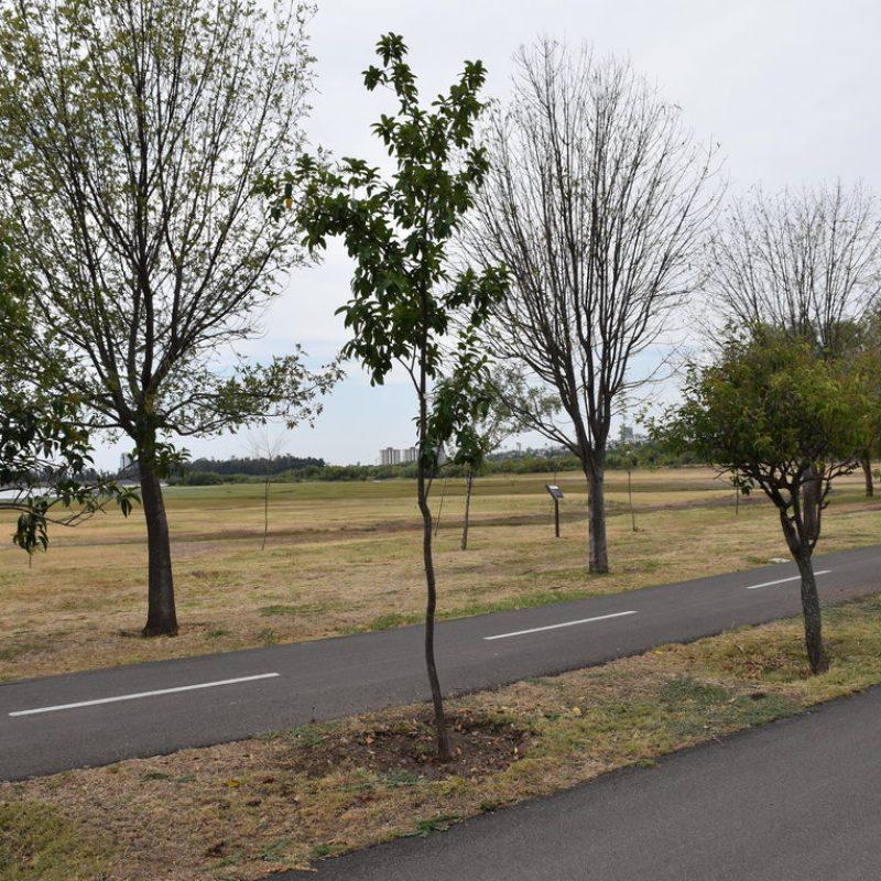 Encino roble Quercus Polymorpha (21 campamentos camellón)