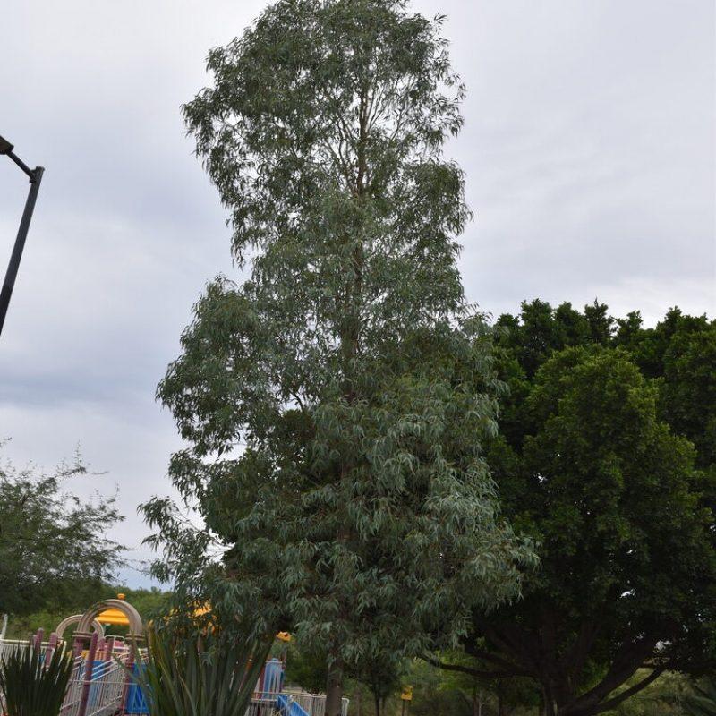 Eucalipto Eucalyptus globulus (12 - balcones juegos grandes)