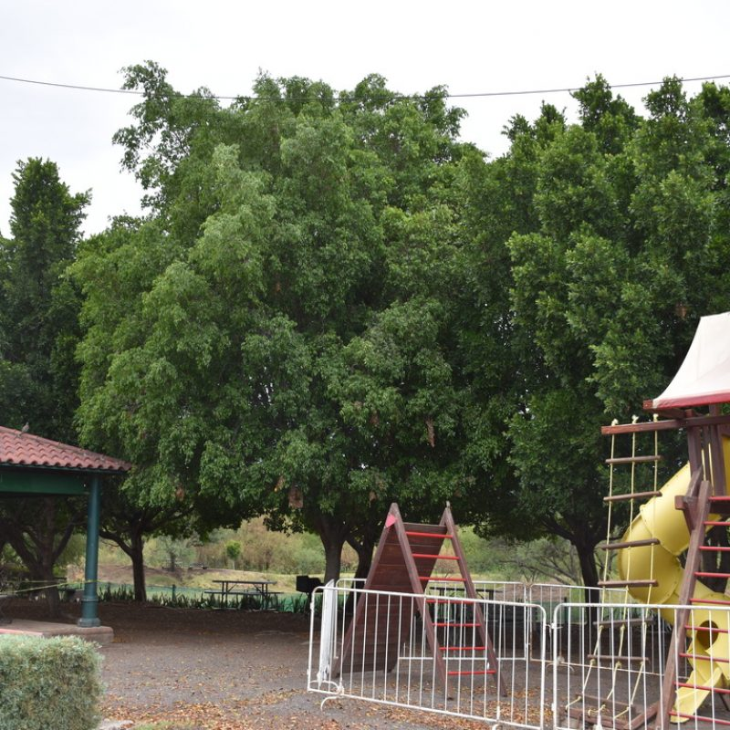 Ficus Ficus benjamina (10- balcones juego)