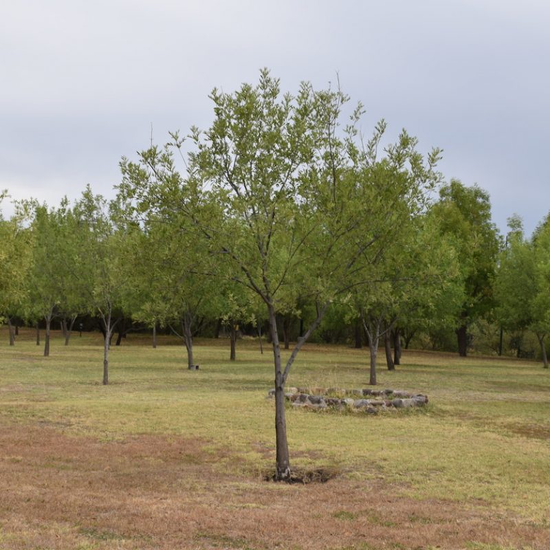 Fresno Fraxinus uhdei (22 campamentos fogata salón verde)
