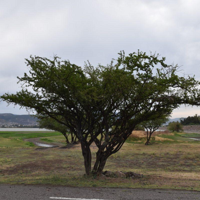 Huizache Acacia farnesiana (6-loma balcones)
