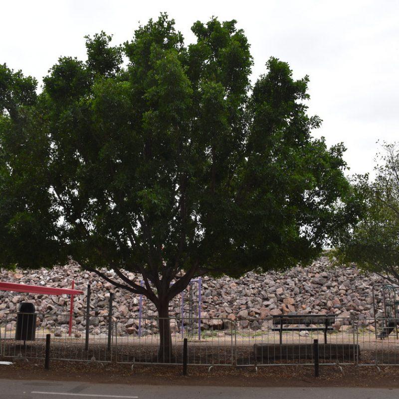 Laurel de la india Ficus microcarpa (3-Bosque)