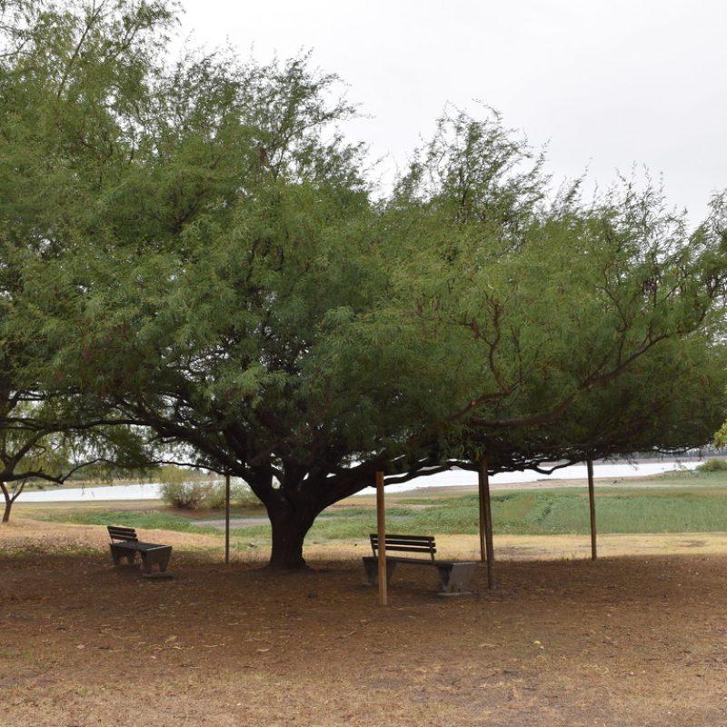 Mezquite Prosopis glandulosa (29 fin pet friendly)