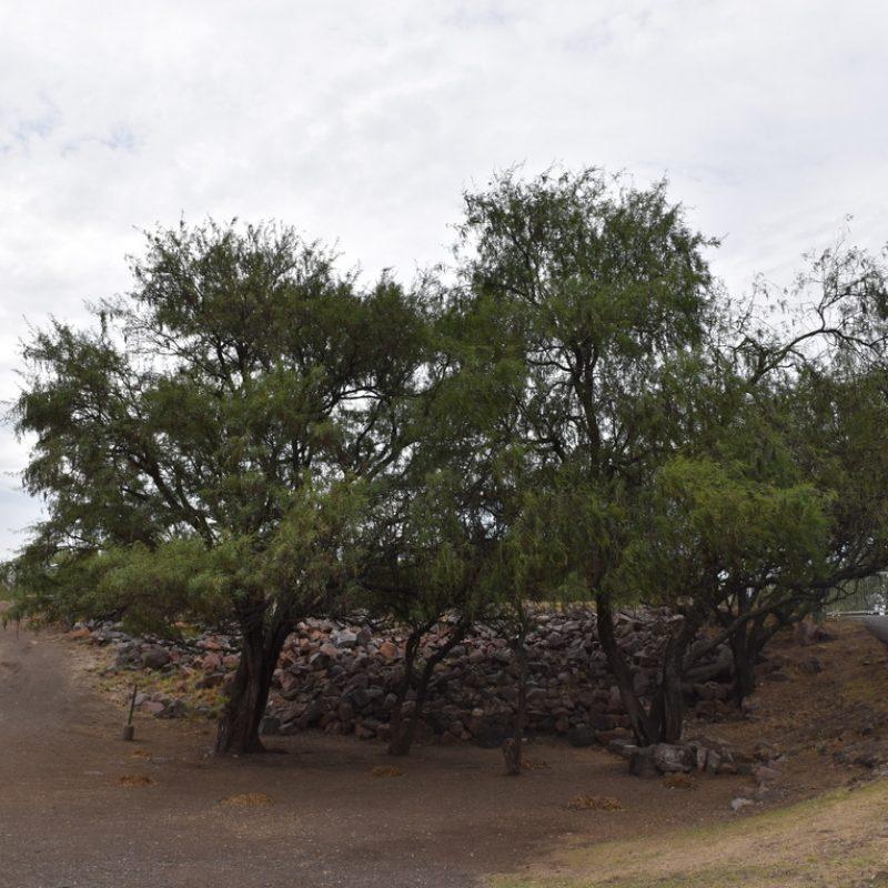 Mezquite Prosopis laevigata (5- cortina balcones)