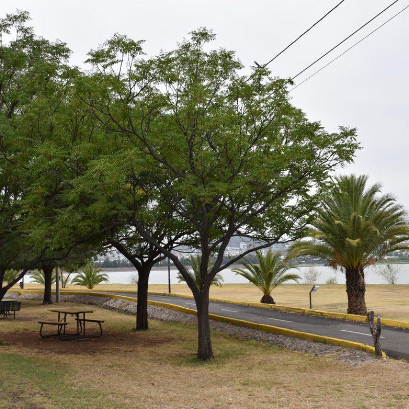 Paraíso Melia azedarach (32 playas cancha)