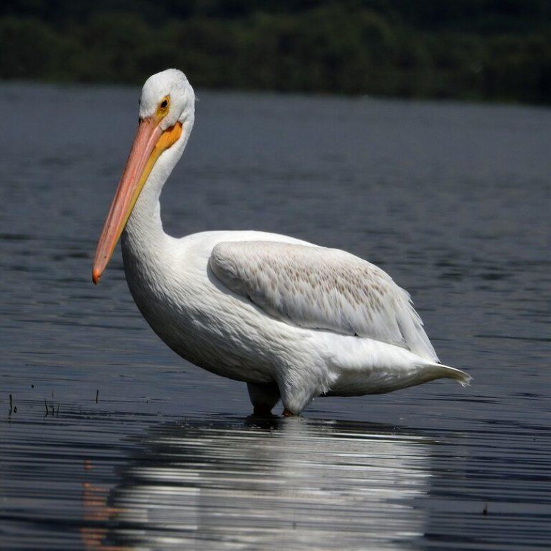 Pelicano Blanco Americano