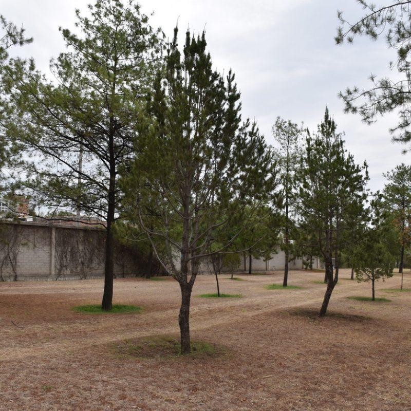 Piñón Pinus cembroides (26 pet friendly pequeño)