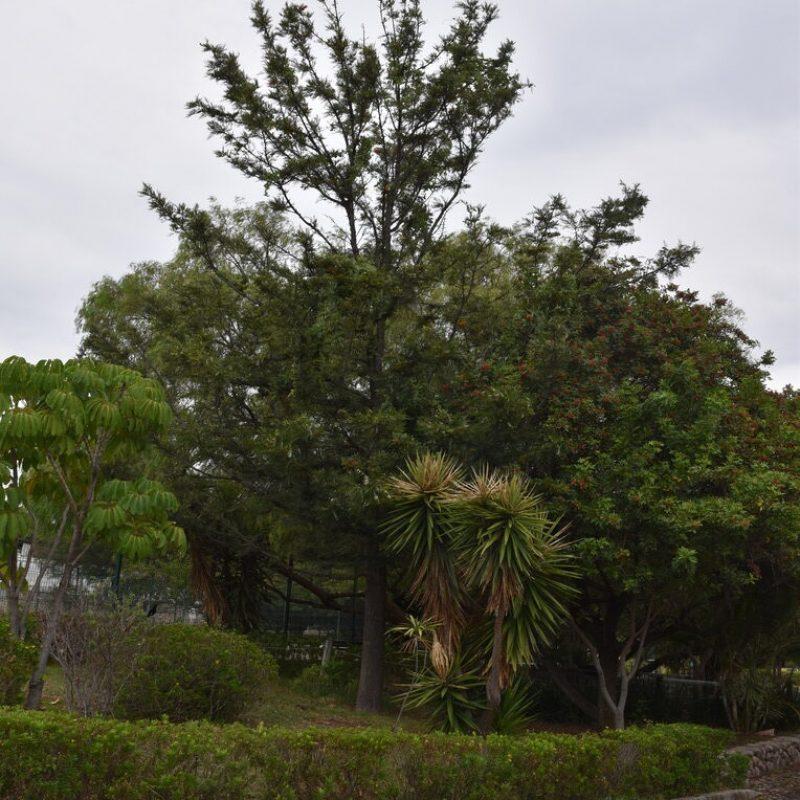 Pino de oro Grevillea robusta (9- balcones acceso)