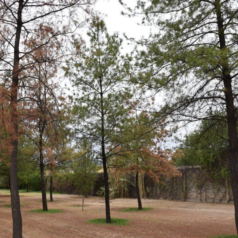 Pino salgareño Pinus nigra (27 pet friendly