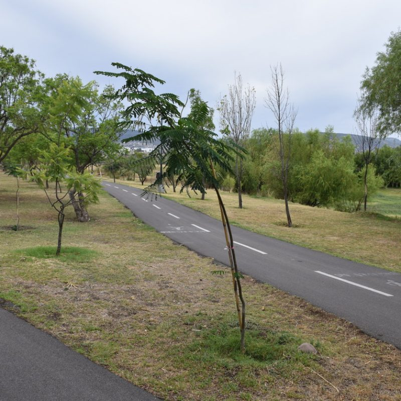 Tabachin Delonix regia (16 km1 ruta balcones)
