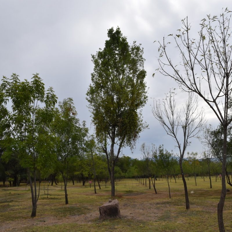 Álamo Populus tremuloides (19 campamento explanada)